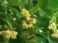 dulcamara-ozzano-bologna-api-tiglio