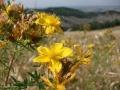 dulcamara-ozzano-bologna-iperico
