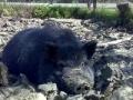 dulcamara-ozzano-cooperativa-bologna-animali-maiale